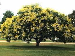 golden tree starts out with yellow flowers located in our
