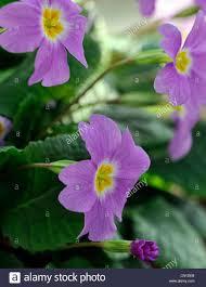 blumen lila primula vulgaris subsp sibthorpii blumen lila gelbes auge zentrum