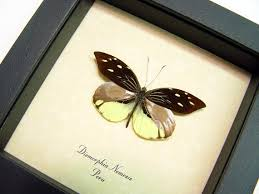 butterfly gifts butterfly framed dismorphia nemesis real butterfly gifts real
