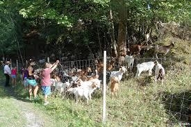 Landratsamt Bad Hersfeld 400 Ziegen In Der Rhön Wegen Pseudotuberkulose Gekeult Region