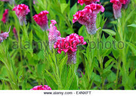 cockscomb flower celosia or wool flowers or cockscomb flower in the garden or