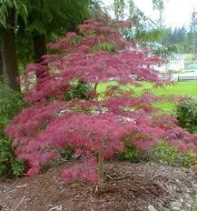 curb appeal ornamental weeping japanese maple tree multimedia