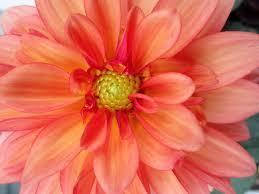 8x10 dahlia flower photo orange and pink flower bloom macro