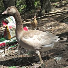 roman goose questions backyard chickens