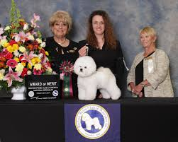 bichon frise breed standard bichon frise club of america u2013 member of american kennel club