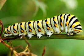 introducing images of a caterpillar dainty swallowtail donald