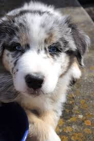 australian shepherd merle puppies 295 best pets images on pinterest animals dog and aussies