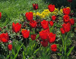 Flowers Bloom by Free Images Nature Blossom Flower Bloom Tulip Spring Flora
