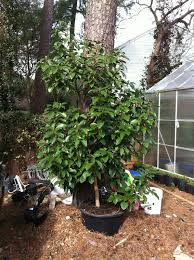 category avocados the bell house growing fruit trees in