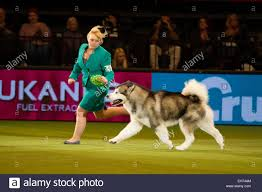 australian shepherd crufts 2015 best dog in show stock photos u0026 best dog in show stock images alamy