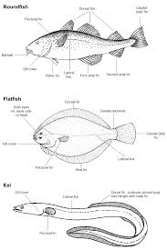 identifying uk sea fish britishseafishing co uk