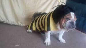Halloween Costumes English Bulldogs Cheap Halloween Bee Costume Halloween Bee Costume Deals