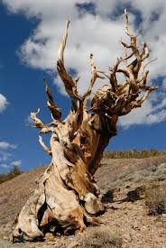 read my rings the oldest living tree tells all collectors weekly
