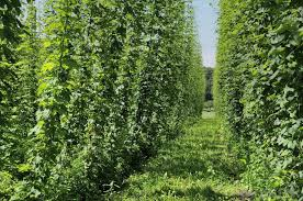 besides what are hops used for with pictures