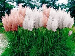 prairie dropseed ornamental grass seeds perennial thrives in