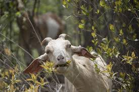 Get Your Goat Rentals by Buckthorn Eating Goats To Debut In Minneapolis Parks Tuesday