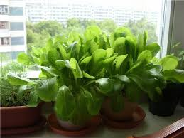 how to grow spinach in pots growing spinach in containers u0026 care
