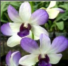 blue orchids for sale den all season blue orchids orchid online sale dendrobium