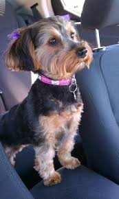 haircuts for yorkie dogs females yorkie poo she is a boss omg its corbin made over only a girl