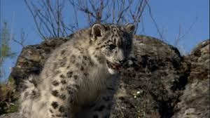 Montana wild animals images Snow leopard grass montana hd stock video 843 489 230 jpg