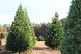 tree farms in alabama extension daily
