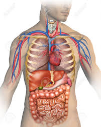 Anatomy Structure Of Human Body Images Of Anatomy Of Human Body Human Anatomy Lesson