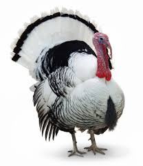 feed me thanksgiving turkeys free lunches and wage and hour