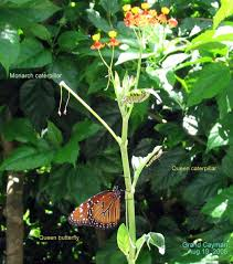 caymannature cayman plants monarch and queen larvae aug19 05 721 t caymannature