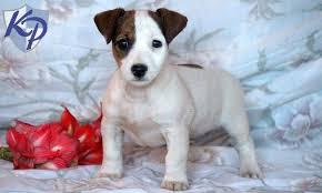 australian shepherd jack russell mix size jack russell mix u2022 keystone puppies puppies for sale in pa