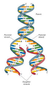 Dna Structure And Replication Worksheet Key Replication Dna Structure And Diagrams Of Dna Replication