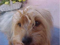 silky terrier with haircut silky terrier short haircut short hair fashions