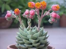 echeveria u0027fabiola u0027 is a hybrid between the species echeveria