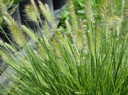 pennisetum bunny ornamental grass riggins nursery llc