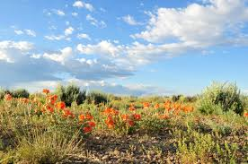 free picture wildflowers anza borrego desert state park