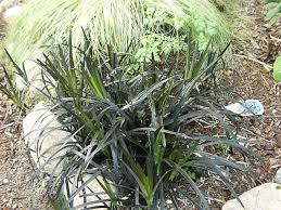 black mondo grass how to grow and care for mondo grass plants