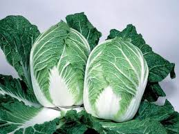 cabbage china china express f1 hybrid cabbage sakata