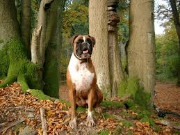 10 boxer dog facts most beautiful mixed breed dogs