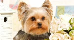 pictures of yorkie haircuts yorkie haircuts for males and females 60 pictures yorkie life