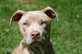 american pitbull terrier in india pit bull terrier temperament u0026 personality