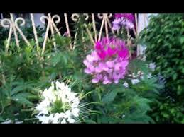 Cleome Flower - cleome flower 2012 youtube