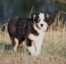 mdr1 australian shepherd australian shepherd puppies united states australian shepherd
