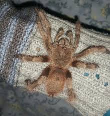 62 best tarantulas images on spiders insects and