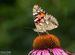 help us record painted butterflies on the move ebutterfly