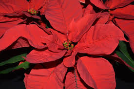 home the poinsettia people