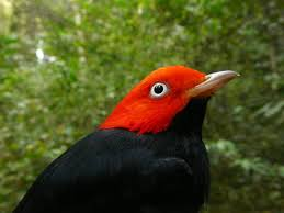 Canopy Birds by Will Climate Change Leave Tropical Birds Hung Out To Dry