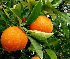 orange tree care www coolgarden me