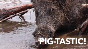 Louisiana wild swimming images Cajun encounters swamp tours in louisiana swimming pigs jpg