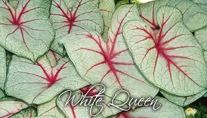 white queen caladium bulbs