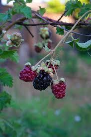62 best boysenberries images on pinterest blackberries