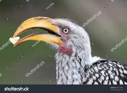 ground hornbill bird large beak beautiful stock photo 90157780